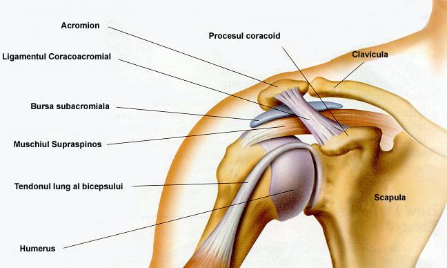 durere în oasele articulației umărului cremă de balsam pentru reparații articulare