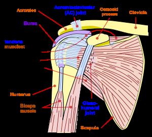 numele bolilor articulației umărului boala articulației gonartrozei