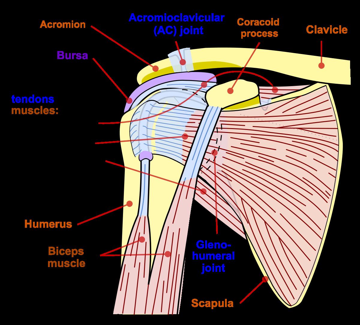 numele bolilor articulației umărului inflamația articulațiilor sacrului